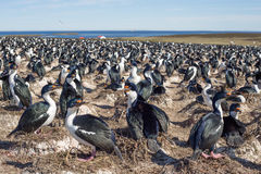Imperial Cormorant Imperial Shag colony, Falkland Islands. Royalty Free Stock Photo