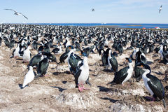 Imperial Cormorant Imperial Shag colony, Falkland Islands. Royalty Free Stock Photos