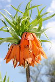 Imperial Crown  (Fritillaria imperialis) Stock Photo