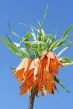 Imperial Crown  (Fritillaria imperialis) Stock Photos