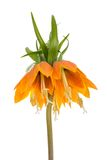 Imperial Crown (Fritillaria Imperialis) isolated on white background Royalty Free Stock Photography