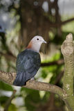 Imperial dove, Ducula aenea Royalty Free Stock Photos