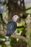 Imperial dove, Ducula aenea Royalty Free Stock Photos