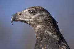 Imperial Eagle Royalty Free Stock Photography
