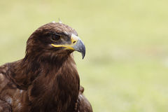 Imperial eagle. In the field Stock Photo