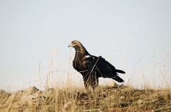 Imperial eagle adult Royalty Free Stock Image