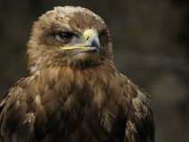 Imperial Eagle (Aquila heliaca) Royalty Free Stock Image