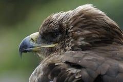 Imperial Eagle (Aquila heliaca) Stock Image