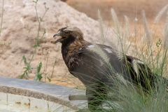 Imperial Eagle Aquila heliaca standing on the ground showing off its sharp beak and yellow eyes in the Al Ain Zoo, UAE. Imperial Eagle Aquila heliaca standing on stock photography