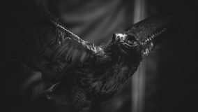 Imperial eagle in black and white, beautiful and powerful bird o. F great size and strength Royalty Free Stock Photo