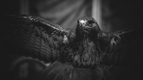imperial eagle in black and white, beautiful and powerful bird o Stock Photos