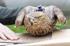 Imperial eagle in hand Royalty Free Stock Photo