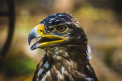 Imperial eagle, head detail with beautiful plumage brown Royalty Free Stock Image