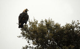 Imperial eagle perches on the branches of a tree Royalty Free Stock Photo