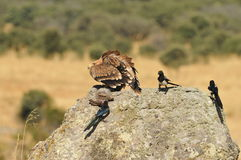Imperial eagle on the rock with a rabbit and several magpies Royalty Free Stock Images