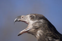 Imperial Eagle shouting Stock Image