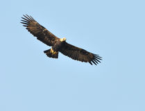 Imperial Eagle. Showing wing spread on sky Backdrop Royalty Free Stock Photography