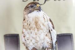Imperial Eagle Stock Photo