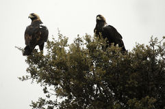 Imperial eagles in a tree Stock Photos