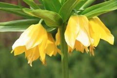 Imperial Fritillaria Stock Images