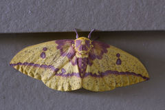 Imperial Moth Royalty Free Stock Photos