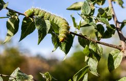 Imperial Moth caterpillar on a branch / Selective focus green ca Stock Photography