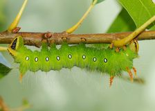 Imperial Moth caterpillar - Green phase Stock Photos