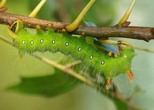 Imperial Moth caterpillar - Green phase Stock Photography