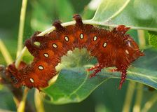 Imperial Moth caterpillar - Orange cinnamon phase Stock Images