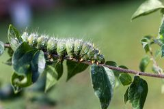 Imperial Moth caterpillar on a branch / Selective focus green caterpillar on brach Royalty Free Stock Images