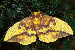 Imperial Moth (Eacles imperialis) Royalty Free Stock Images