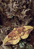 Imperial Moth (Eacles imperialis) Stock Photo