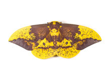 Imperial Moth Stock Photography