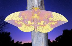 Imperial Moth and Night Sky Royalty Free Stock Photo