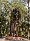 Imperial Palm Tree in Elche, Spain Royalty Free Stock Photography