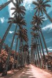 Imperial palms in a botanical garden stock photo