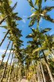 Imperial palms at Malwee Park. Jaragua do Sul, Santa Catarina. Brazil Stock Photos