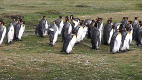 Imperial penguins on green Falkland Islands in Antarctica.