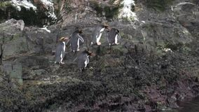Imperial penguins jump on rocky ocean coast of Falkland Islands in Antarctica. stock footage
