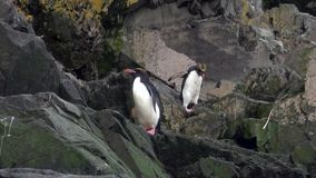 Imperial penguins jump on rocky ocean coast of Falkland Islands in Antarctica. stock video