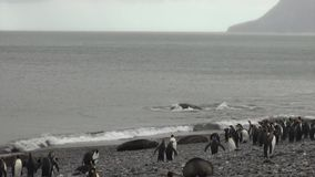 Imperial penguins watch battle of seals males in ocean of Falkland Islands. stock footage