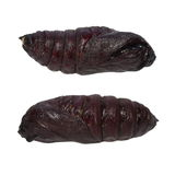 Imperial Pine Moth Chrysalis larva (Eacles imperialis) Royalty Free Stock Photo