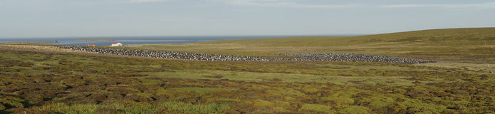Imperial Shag colony  - Falkland Islands Stock Images