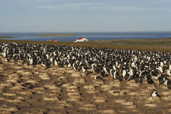 Imperial Shag colony  - Falkland Islands Royalty Free Stock Images