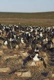Imperial Shag colony  - Falkland Islands Stock Photo