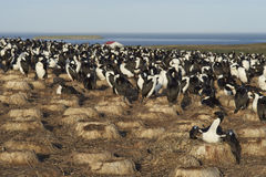 Imperial Shag colony  - Falkland Islands Royalty Free Stock Photography