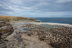 Imperial Shag Colony - Falkland Islands Stock Photography