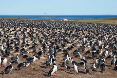 Imperial Shag Colony Royalty Free Stock Photography