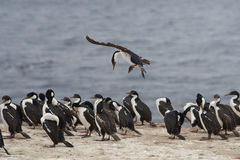 Imperial Shag coming into land  - Falkland Islands Stock Photos