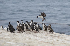 Imperial Shag coming into land  - Falkland Islands Royalty Free Stock Images